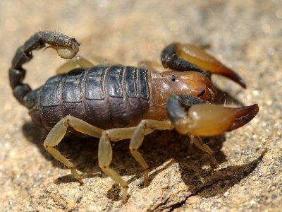 Opistophthalmas carinatus