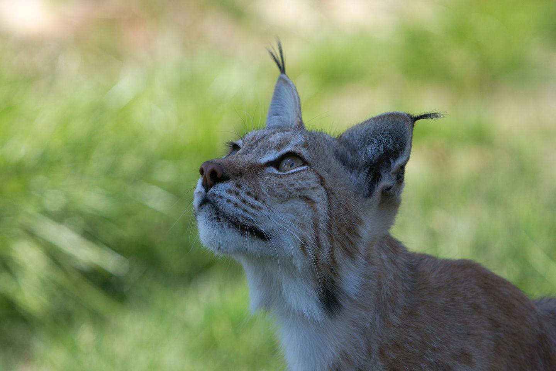 Gaupe (lynx)