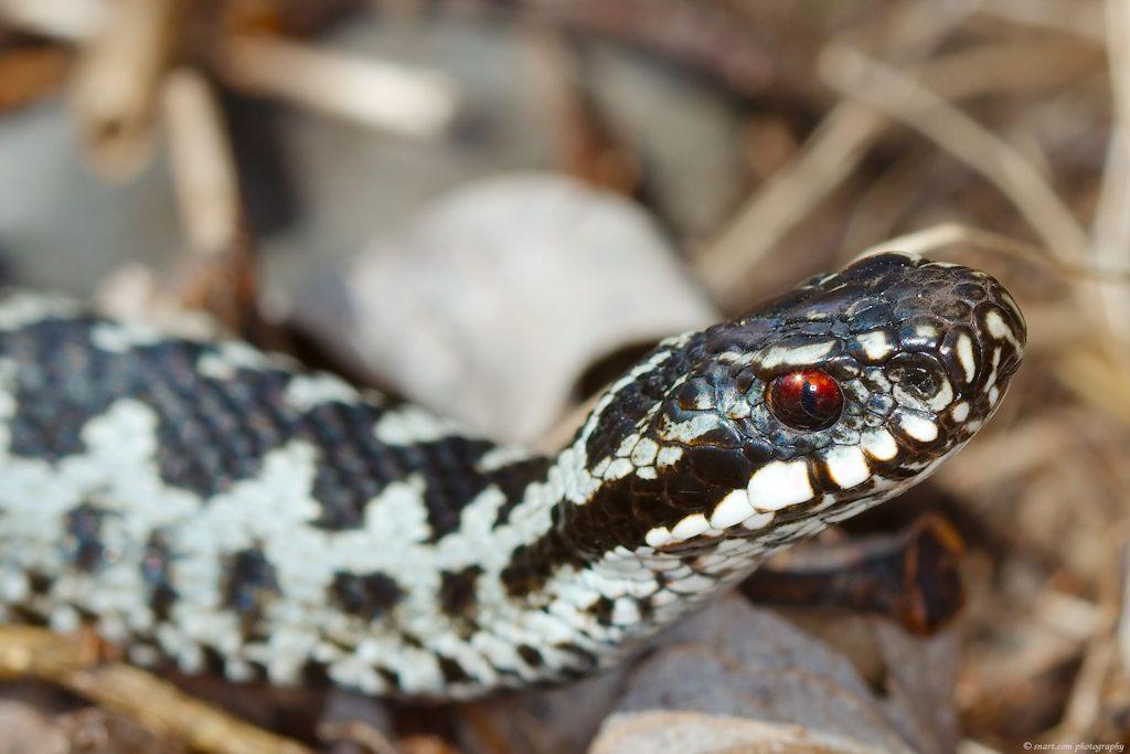 Vipera berus, Norwegian common viper, common adder, hoggorm, huggorm