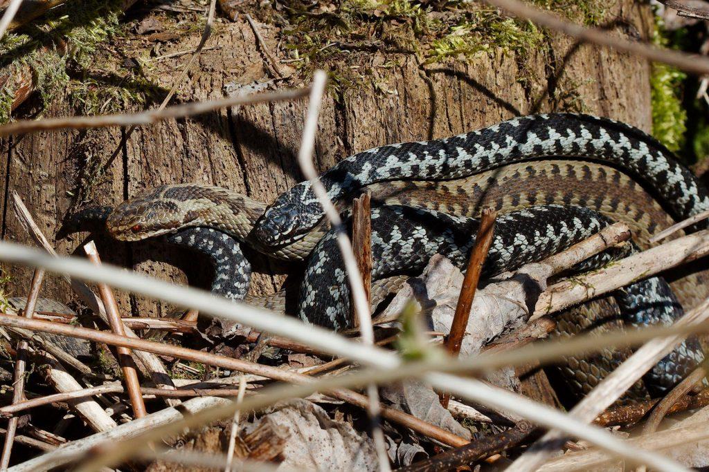 Vipera berus, Norwegian common viper, common adder, hoggorm, huggorm, mating, parring